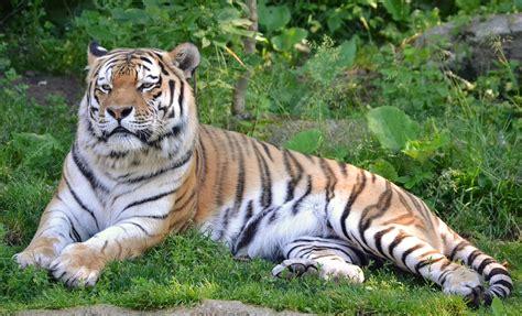 tiger biography in english file sibirischer tiger aus dem zoo leipzig jpg wikimedia