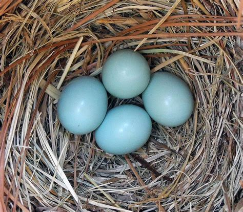 bluebird s nest birdies pinterest