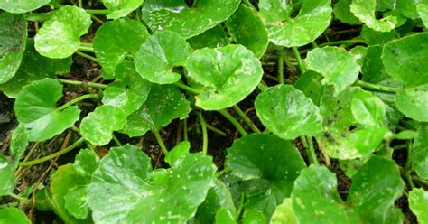 khasiat  manfaat tanaman obat pegagan