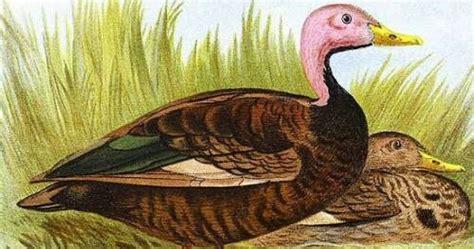 Bantal Menyusui Duck Biru Duck Pink pink headed duck birds of india