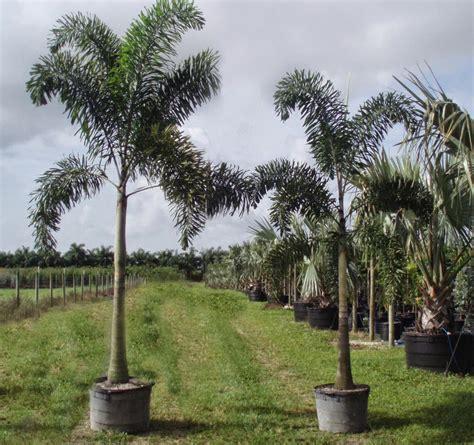 Colla Di Apotik jual pohon palem ekor tupai wodyetia bifurkata habiban