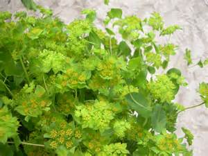 Bupleurum to cleanse the liver and calm agitation lion heart herbs