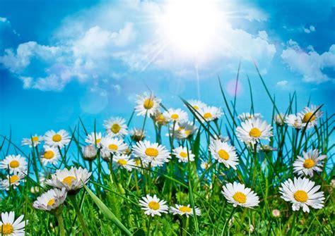 field  daisies   sky phone wallpapers