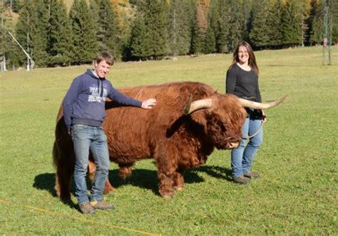 Mucche scozzesi Scottish Highland dal Catinaccio | Bovini ...