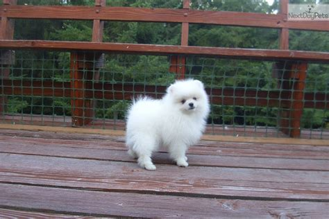 pomeranian for sale in portland oregon cheap pomeranian puppies for sale in portland oregon