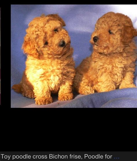 bichon poodle lifespan bichon poodles they re like the cutest stuffed animals