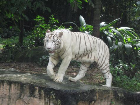 White Zoo file white tigers singapore zoo 11 jpg