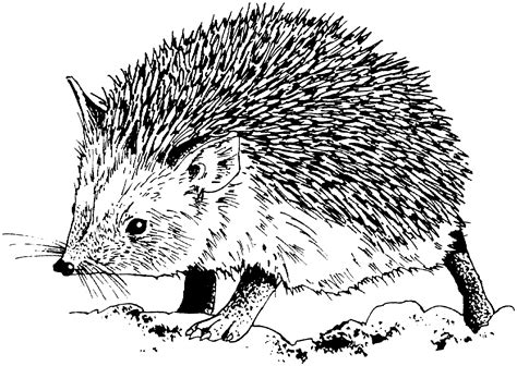 cute hedgehog coloring pages free hedgehog coloring pages