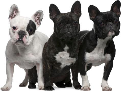 bull frances entrena con 233 xito a tu bulldog franc 233 s aqu 237 te decimos como 800noticias