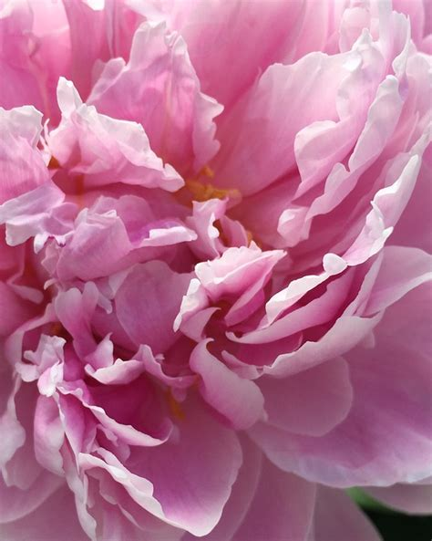 lucio battisti fiori rosa fiori di pesco photo collection rosa foto fiori