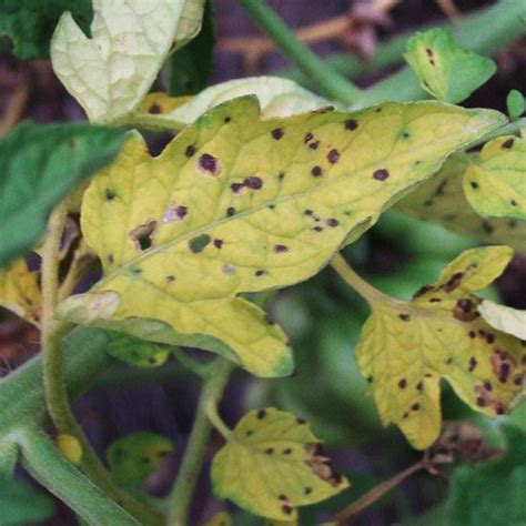 the 25 best ideas about tomato plant diseases on