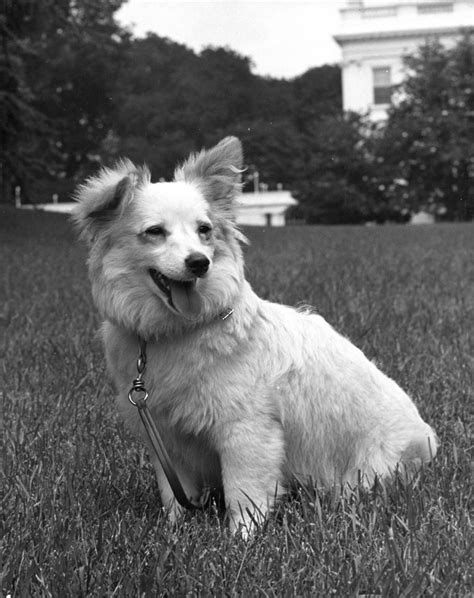 white house dogs kn 18269 white house quot pushinka quot f kennedy presidential library museum