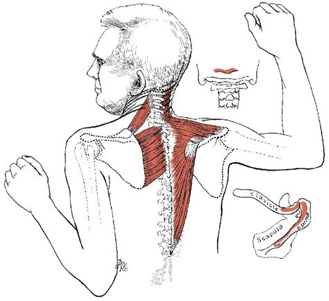 muscles of the human diagram anatomy of back muscles muscles of the back