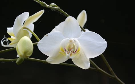 black and white orchid wallpaper white orchid wallpaper