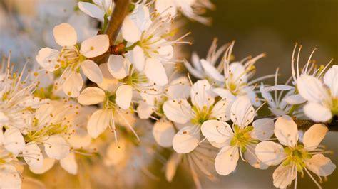 imagenes de flores wallpaper hd flores blancas al atardecer hd 1920x1080 imagenes