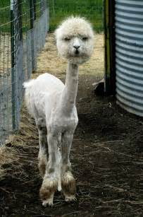 a shaved lama funny