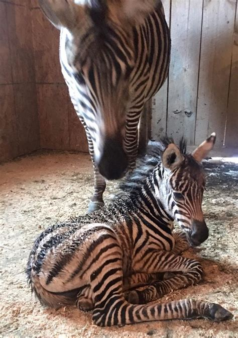 Baby Zebra baby zebra born in cny during snowstorm given fitting name
