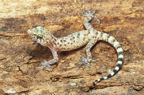 mediterranean gecko facts  pictures reptile fact
