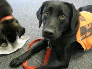 diabetes service dogs service dogs for diabetes the diabetes resource