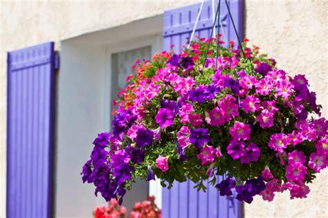 fiori petunie petunia ecco alcune composizioni per giardino foto