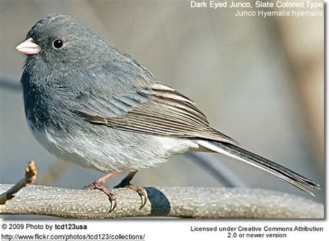 slate colored junco slate colored eyed juncos