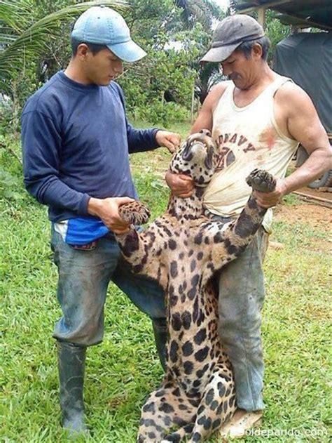 imagenes de un jaguar en caricatura asesinos de un jaguar en la amazonia ecuatoriana
