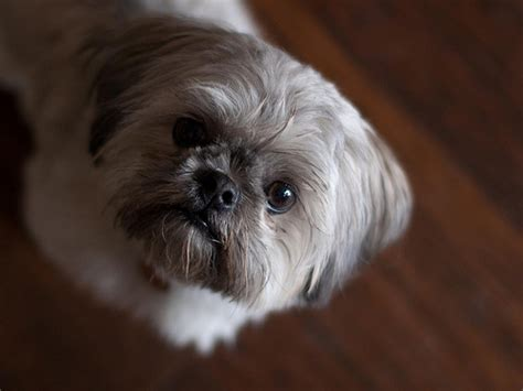 shih tzu pregnancy signs shih tzu heat cycle and heat signs ask a breeder information