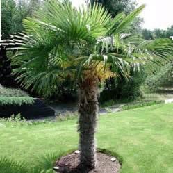 palmier 224 chanvre plantes et jardins