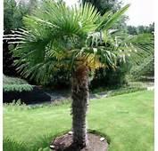Palmier &224 Chanvre  Plantes Et Jardins