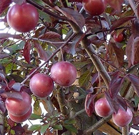 prunus cerasifera nigra palmhunters