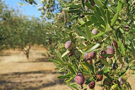 when do live trees go on sale how to grow an olive tree ebay