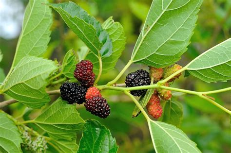 the earth of india all about mulberry in india