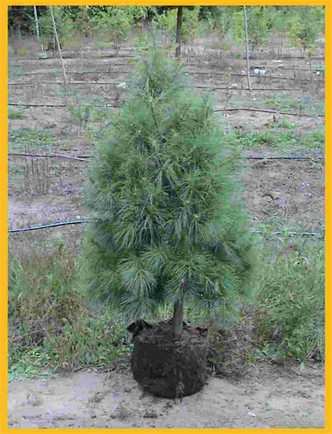christmas tree transplants for sale christmas decore