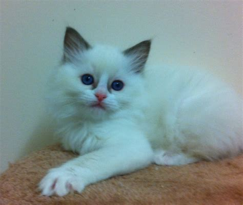 ragdoll breeders amberglade ragdolls breeders of beautiful ragdolls