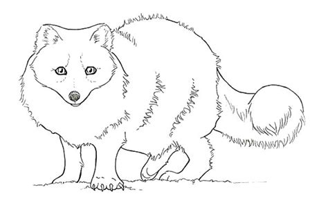 baby artic fox coloring pages baby artic fox coloring