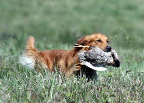 golden retriever national specialty wynwood golden retrievers golden puppies breeders