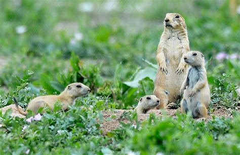 Of Colorado Boulder Mba Cost by Boulder Developer Agree On Plan To Move Prairie Dogs