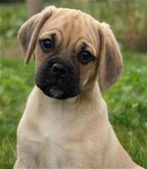 pugs and beagles 1000 images about yoyo puggle pug beagle mix on puggle puppies