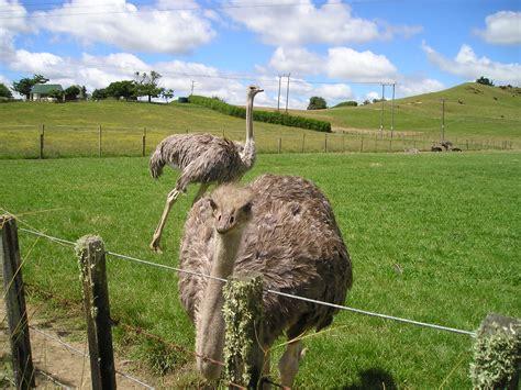 fotograf doga ciftlik vahsi hayat buket otlak otlama koyun devekusu fauna
