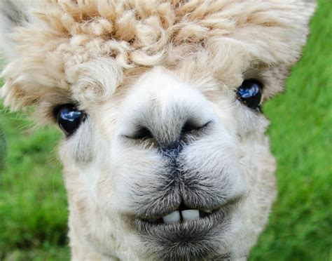images nature farm animal fur smile life llama alpaca face  vertebrate
