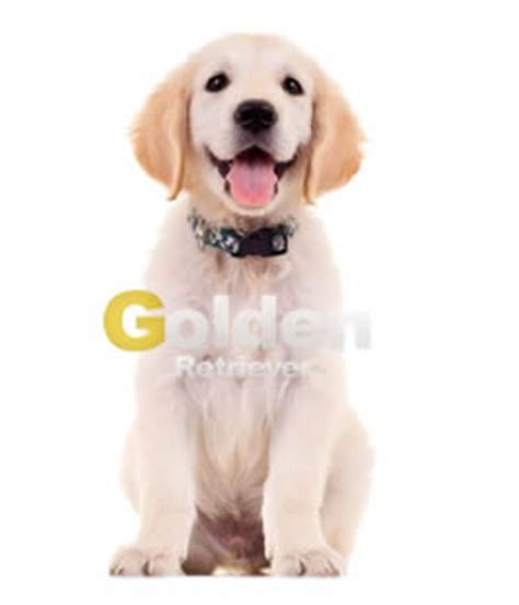 golden retriever colores dorado claro caracter 237 sticas f 237 sicas de los golden retriever web golden retriever