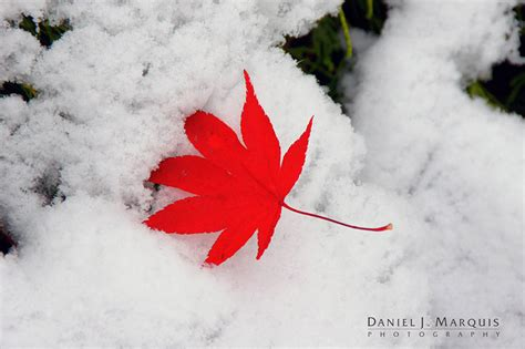 snow on maple leaves cooke a clash of seasons daniel j marquis photography