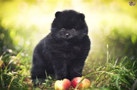 show me pictures of pomeranian puppies pomeranian characteristics appearance and pictures