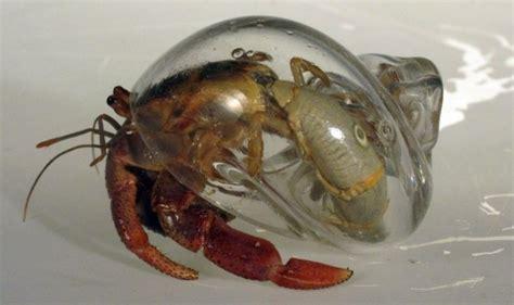 designer robert dugrenier makes hand blown glass shells for hermit crabs inhabitat green