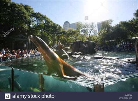 at central seals at central park zoo new york city stock photo