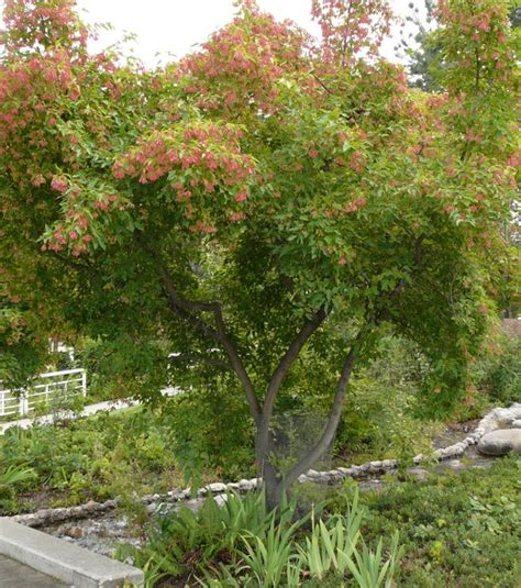 amur maple okanagan xeriscape association