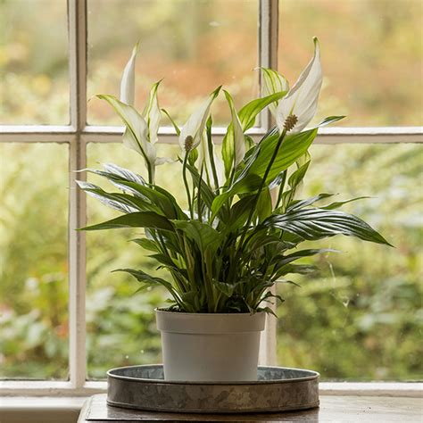 buy house plants buy peace lily spathiphyllum wallisii bellini delivery