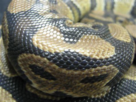 python image python python python regius