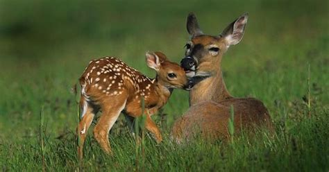 fawn images 11 whitetail fawn facts