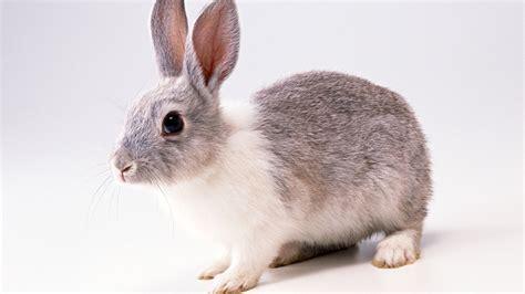 grey rabbit wallpaper download wallpaper 1600x900 grey rabbit hd background